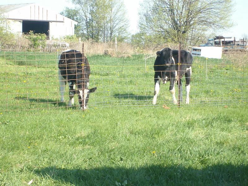 steers (151k image)